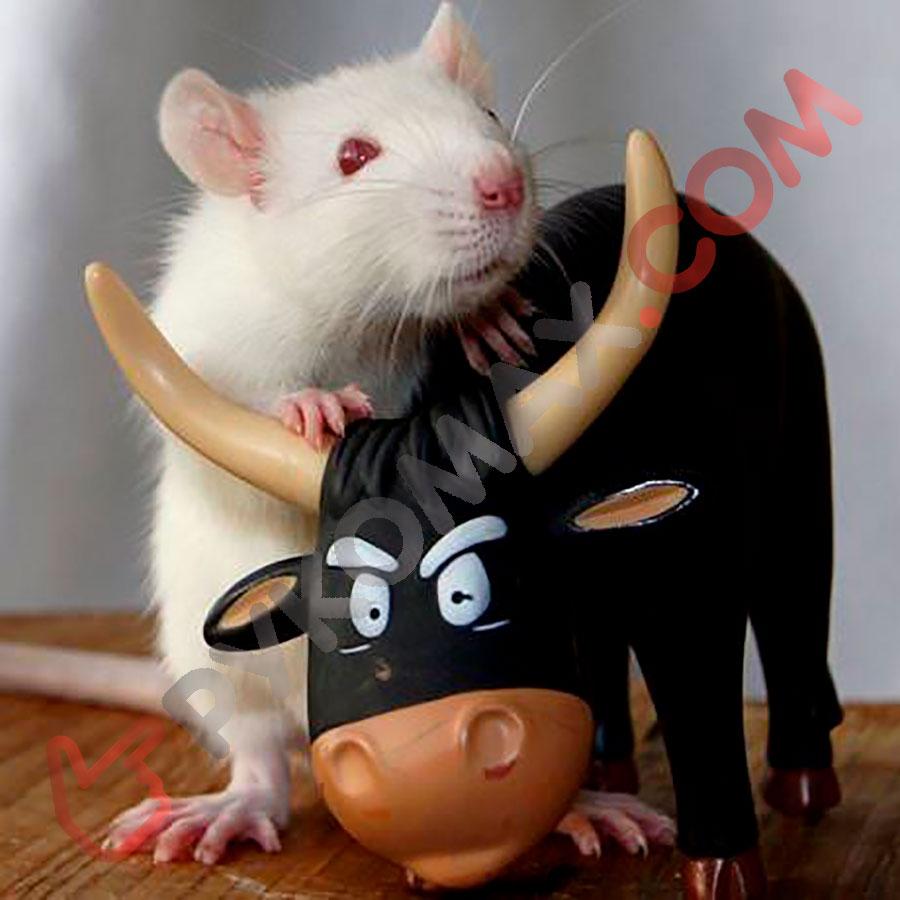 Крыса сменяет Быка